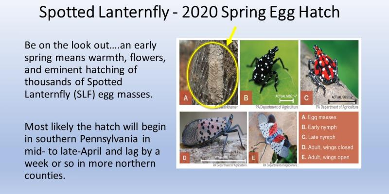 Spring egg hatching of the Spotted Latternfly